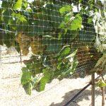 Chardonnay grapes #2.JPG