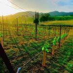 svrv vineyard view.jpg
