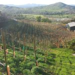 zxq vineyards.jpg